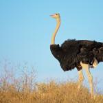 Safari Ostrich