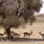 Safari Springbok
