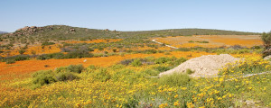 Package Desert Flowers, Cape & Safari south africa Vacation Package